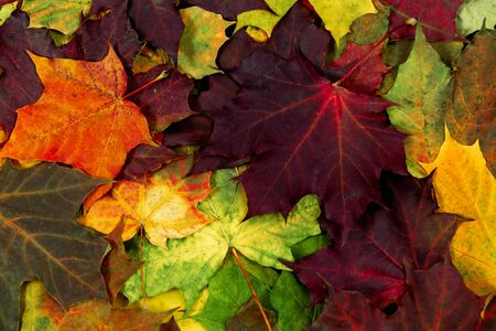 Colorful maple leaves in the forest. Season background. Orange, green, red maple leaves in nature.