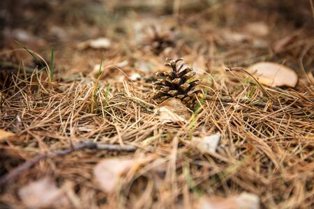 The forest background. A fir cone against the background of pine needles lies on the ground.