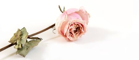 One dried rose Bud on a grey background with space for your text. Stock fotó