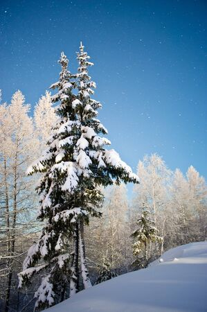 backwoods: spruces in the snow at night Stock Photo