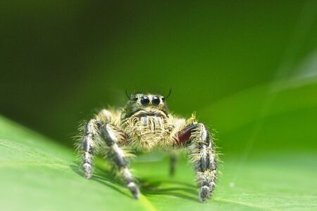 Jumping Spider. Reklamní fotografie