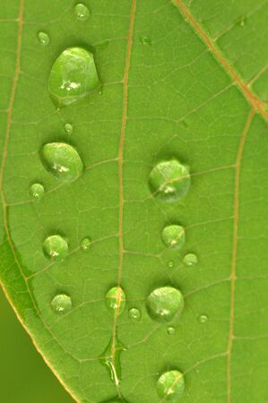 Abstract green leaf and water drops texture for background.