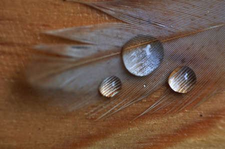 A feather with  water drops.