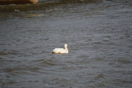 Pelican windblown on the Mississippi River