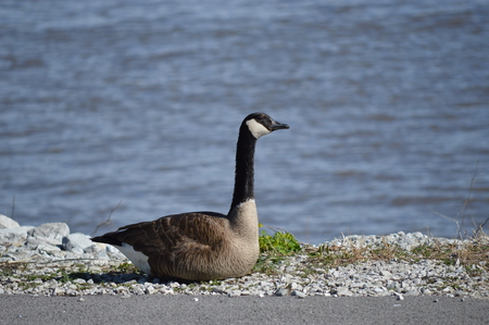 Canada goose sitting by the river Фото со стока