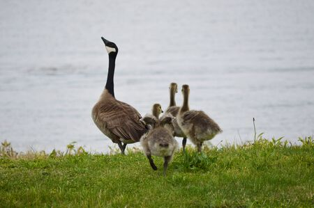 Canadian goose and the goslings