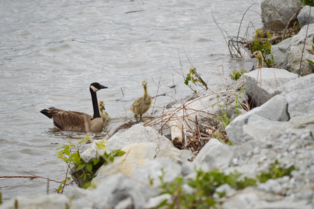Goose and goslings enjoying the outdoors Stock Photo