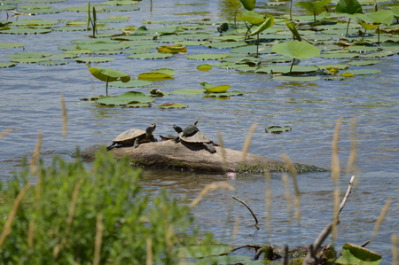 Log Out: Turtles hanging out on a log on the river