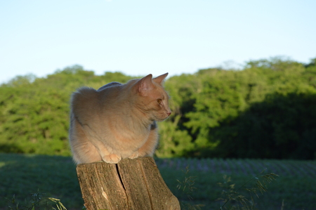 fencepost: Cat sitting on the fencepost as the sun sets Stock Photo