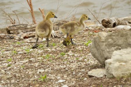 Goslings taking a stroll