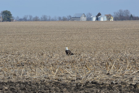 Eagle on a clear day in the cornfield Imagens