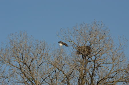 Eagle flying in to guard the nest