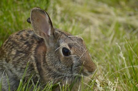 Rabbit feeding in the green grass