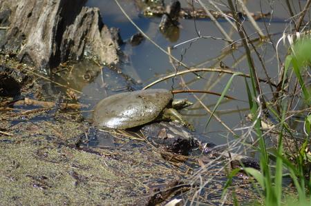 Softshell turtle sunbathing near the river Imagens