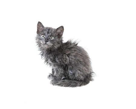 little wet homeless kitten isolated on white background photo