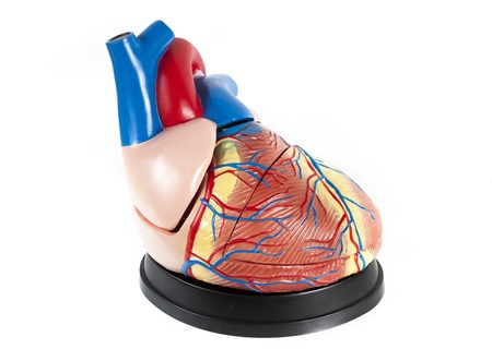 anatomical model: anatomical model of human heart close-up isolated on white background Stock Photo