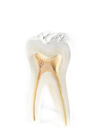 anatomische Modell eines Zahnes auf einem weißen Hintergrund isoliert