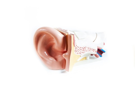 anatomical model: Anatomical Model ear isolated on a white background Stock Photo