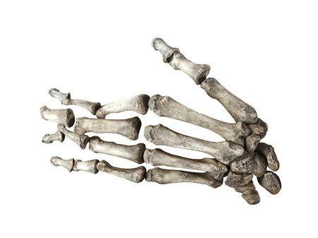 human bones: mano humana hueso aislado en fondo blanco