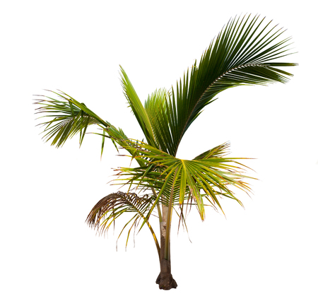 coconut palm tree: Green palm tree isolated on white background