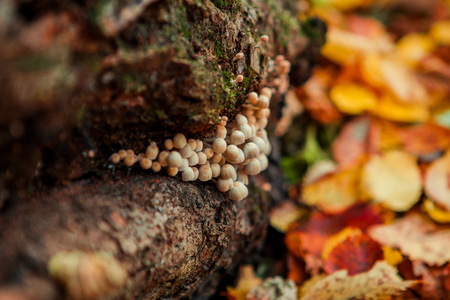 Mushrooms on an old tree stump close-up