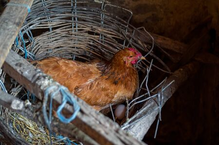 chuckle: A hen laying eggs Stock Photo