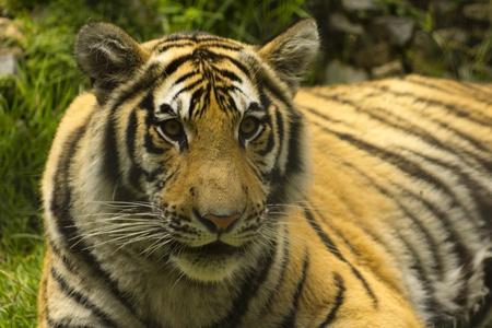 tigre: Tiger