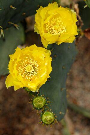 opuntia: opuntia blooming