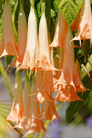 Brugmansia Rafaella (Angels trumpets), Isle Mainau