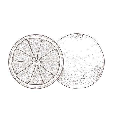 Sliced orange fruits isolated on a white background. Hand drawn line art. Retro design. Vector illustration.