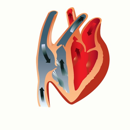 left ventricle: grant to study the anatomy of the heart