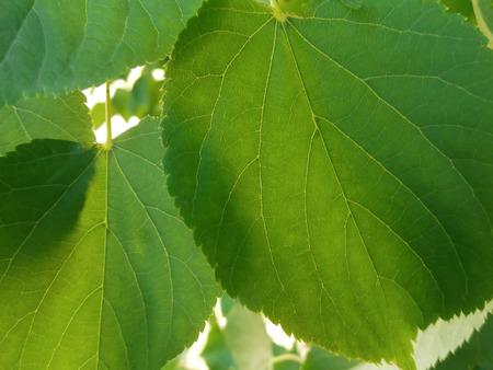 illuminati: Lime arrotondato foglie verdi illuminata sole