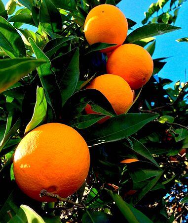 Oranges sur l'arbre Banque d'images - 35175858