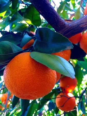 mandarins: Mandarins tree Stock Photo