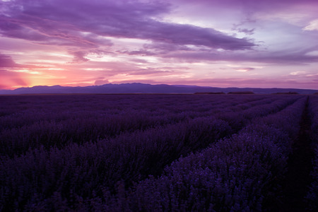 contrasting: Lavender fields. Beautiful image of lavender field. Summer sunset landscape, contrasting colors. Dark clouds, dramatic sunset Stock Photo