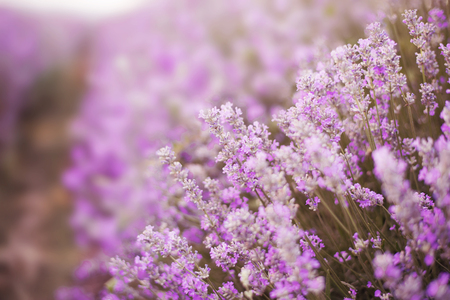 Close up of lavender. Blurred background. Lavender fields. Vintage tinted, Selective focus Stock Photo
