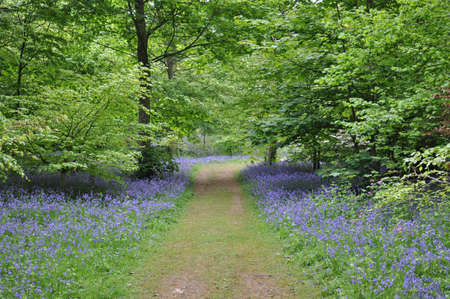 ourdoor: Blue bell forest Stock Photo