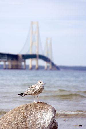 Seagull infront of the machinaw bridge in northern michigan focus on the bird photo