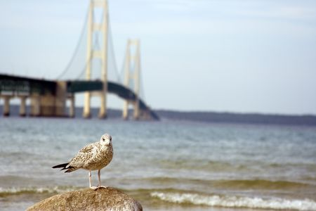 Seagull in front of the mackinaw bridge in northern michigan focus on the bird photo