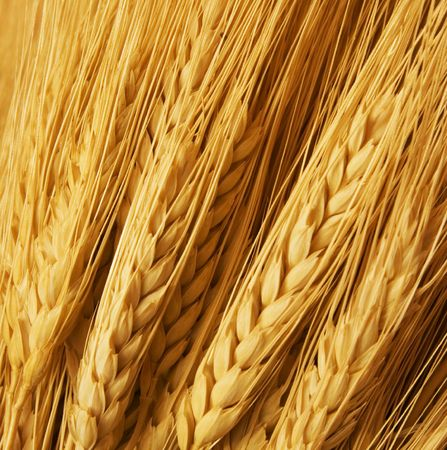 Close up of wheat nice detail background photo
