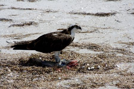 osprey enjoying his lunch after just catching a fish photo