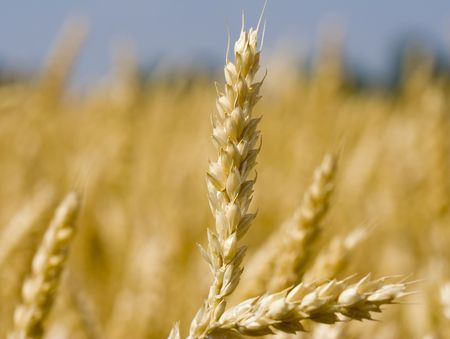 farmstead: Close up of wheat nice detail background shallow depth of focus Stock Photo