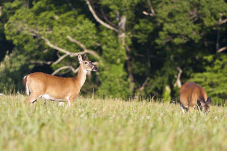 white tail deer: white tail deer shot in the spring grazing on grass Stock Photo