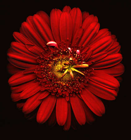 Red flower on black background Stock Photo