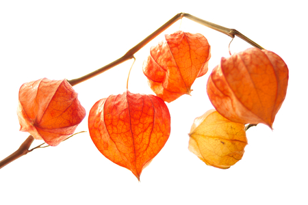 Decorative orange physalis berries on white background