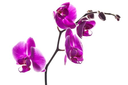 A stem with beautiful orchids flowers for white background.