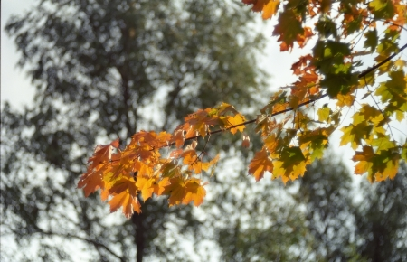 maple branch with yellow leaves, soft focus, tree on background