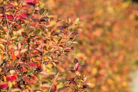 tucker: Bush with yellow leafs