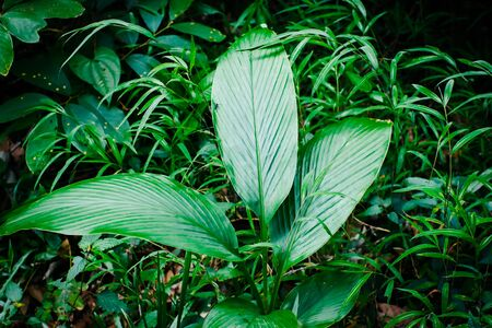 Green leaf texture background, tropical leave foliage are shaped like tiny spikes, leaves in tropical forest, green concept.