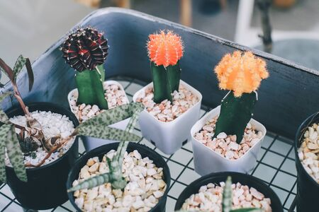 Cactus Various Kind Nature Houseplant Fresh Concept n a pot. Colorful of beautiful cactus or succulents in the pot pattern background. This plant used for decoration home, office, living room or garden.